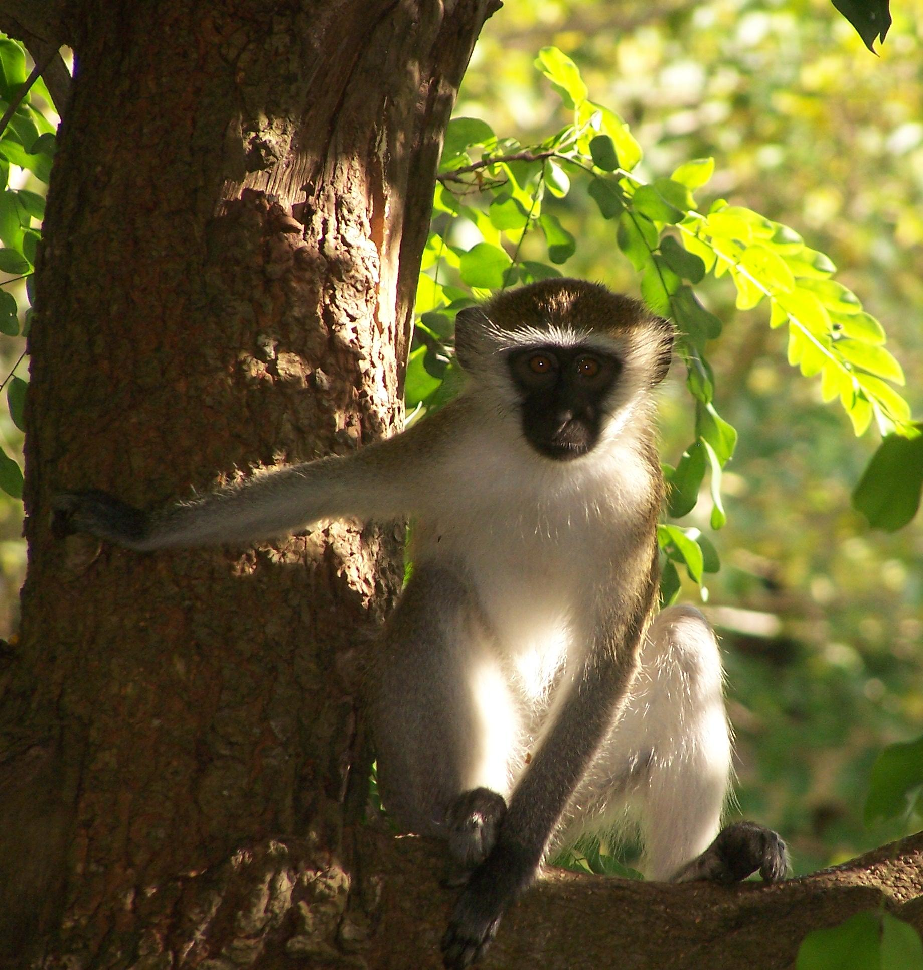 Chlorocebus pygerythrus: A Vervet majom