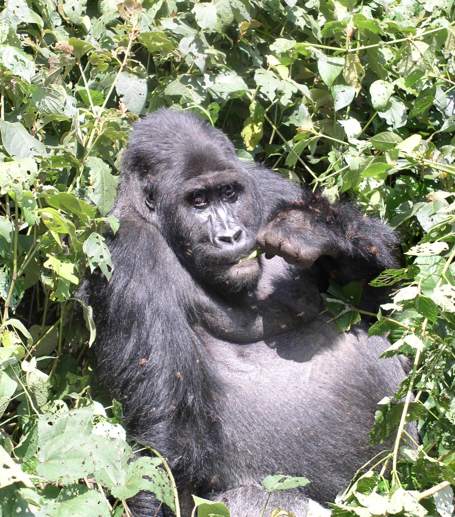 Gorilla illusztráció
