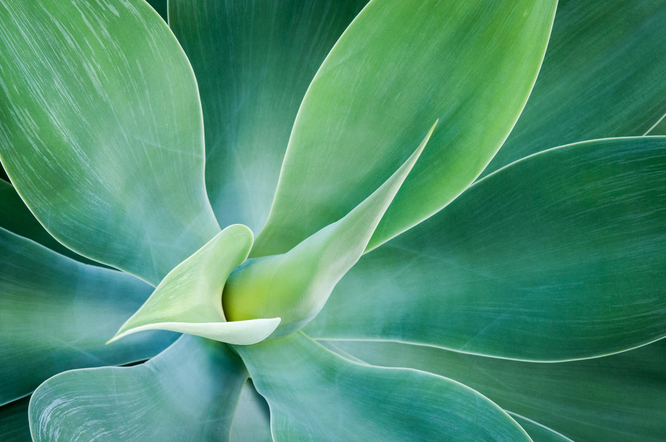 Aloe Bursting
