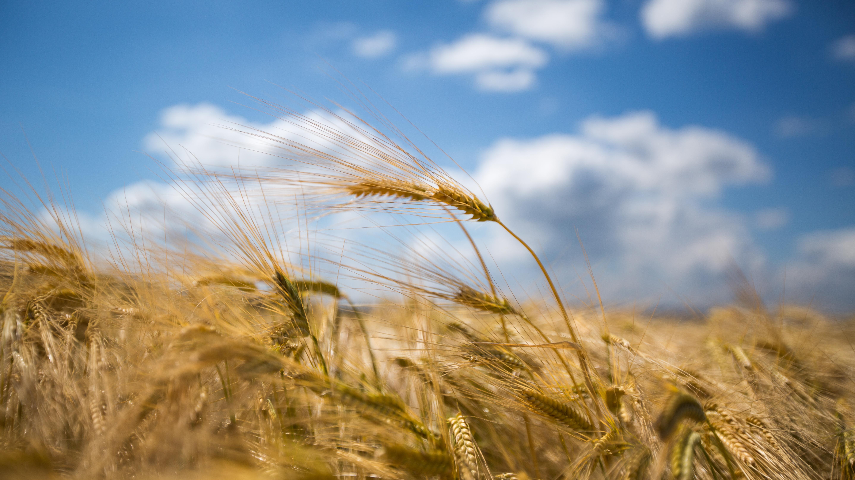 Harald Hoyer: Corn